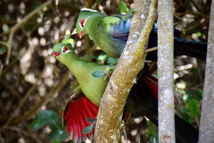 A couple Knysna turaco