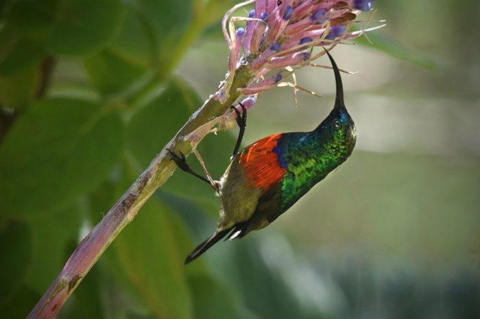 Sunbird in garden