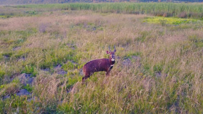 Bushbuck in Wilderness